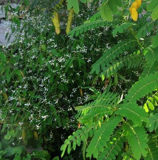 Euphorbia hypericifolia 'Diamond Frost' Img_7214