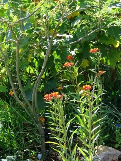 Asclepias curassavica - asclépiade de Curaçao Img_7410