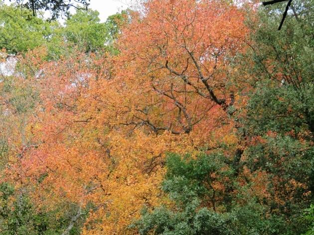Acer monspessulanum - érable de Montpellier - Page 2 Img_7423