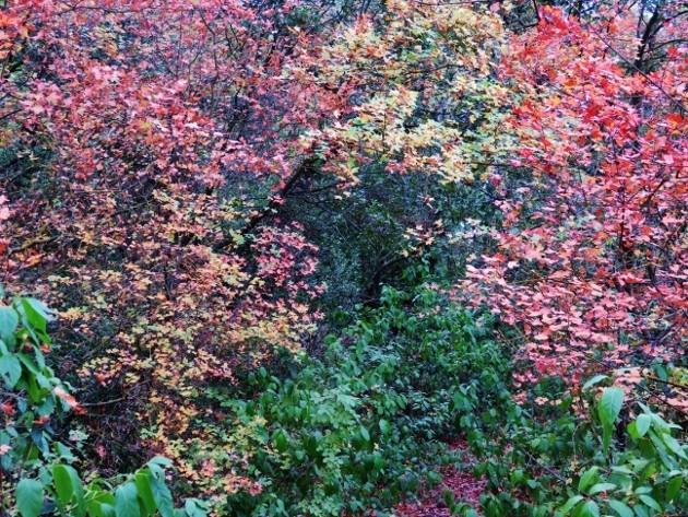Acer monspessulanum - érable de Montpellier - Page 2 Img_7424