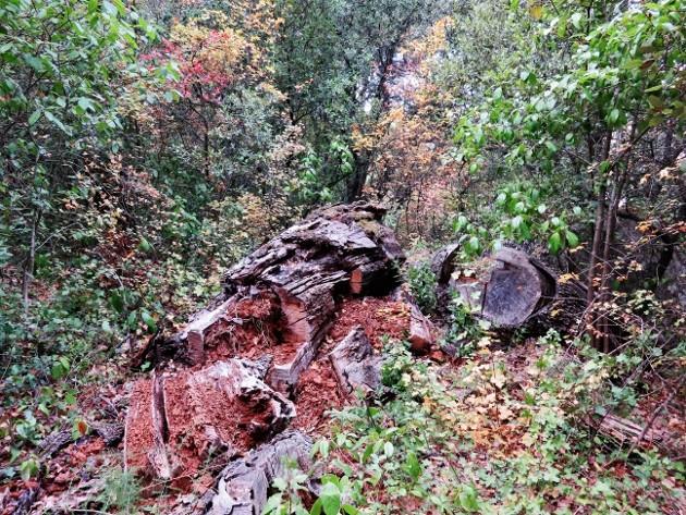 Acer monspessulanum - érable de Montpellier - Page 2 Img_7428