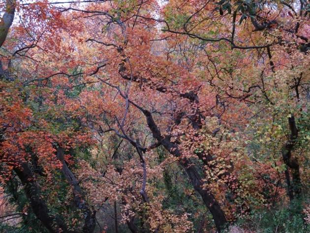 Acer monspessulanum - érable de Montpellier - Page 2 Img_7429