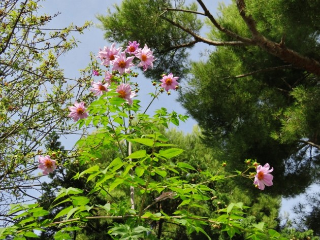 Dahlia imperialis - Page 7 Img_7620