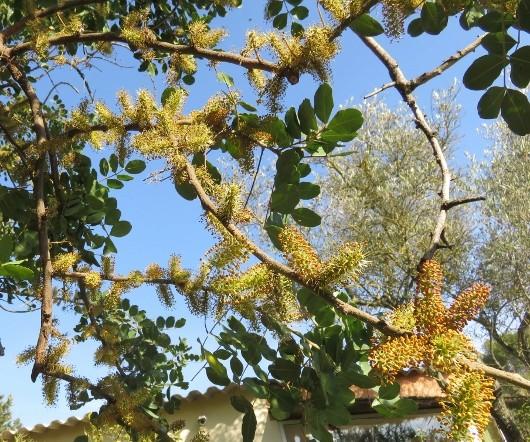 Ceratonia siliqua - caroubier Img_7621