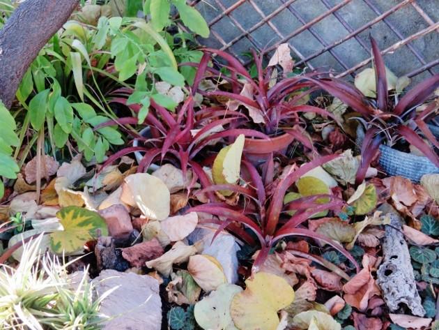 Biltanthus 'Red Burst' (hybride) Img_7810