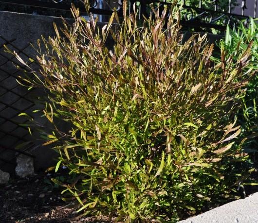 Dodonaea viscosa - dodonée visqueuse Jardin20