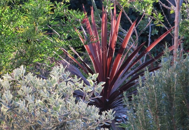 cordyline - Cordyline 'Red Star' Jardin24
