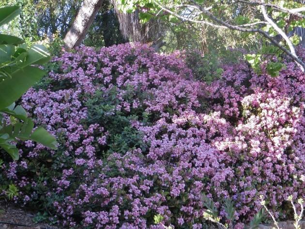 Rhaphiolepis indica Jardin26