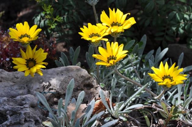 Gazania - espèces et cultivars Jardin31