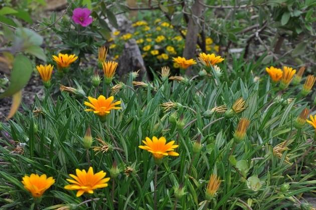 Gazania - espèces et cultivars Jardin33