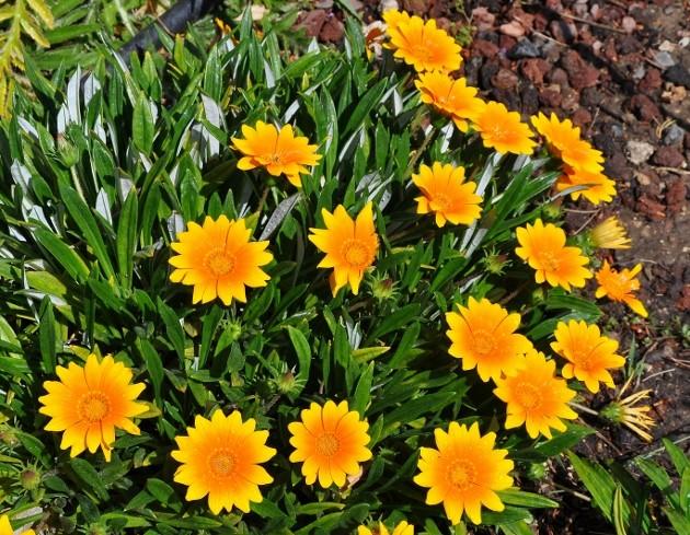 Gazania - espèces et cultivars Jardin34