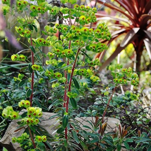Euphorbia amygdaloides - euphorbe à feuilles d'amandier, euphorbe des bois Jardin36