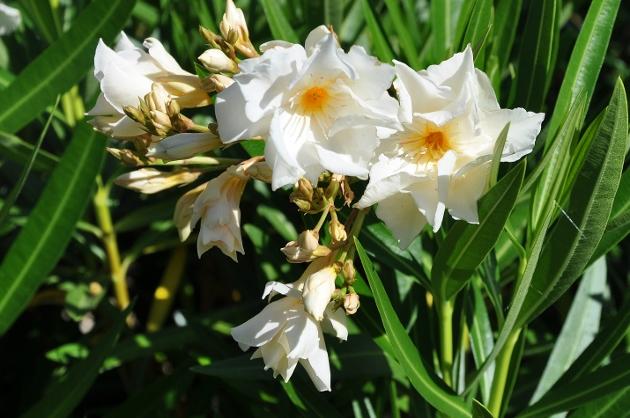 Nerium oleander - laurier rose - Page 3 Juille19