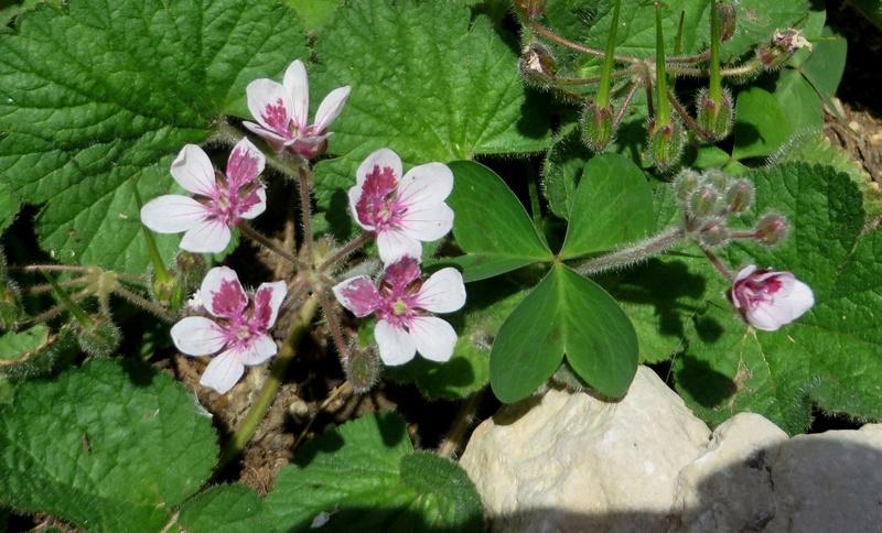 Erodium pelargoniflorum ≠ Erodium trifolium - discussion - Page 2 Juin_215