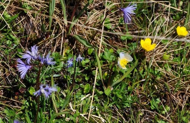 Soldanella alpina - soldanelle alpine Juin_216