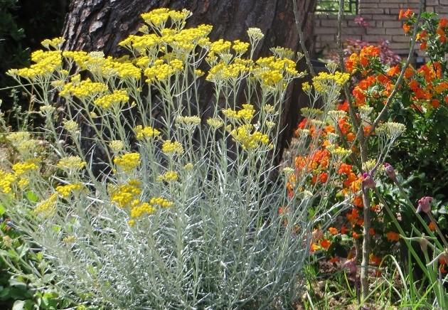 Helichrysum stoechas Juin_222