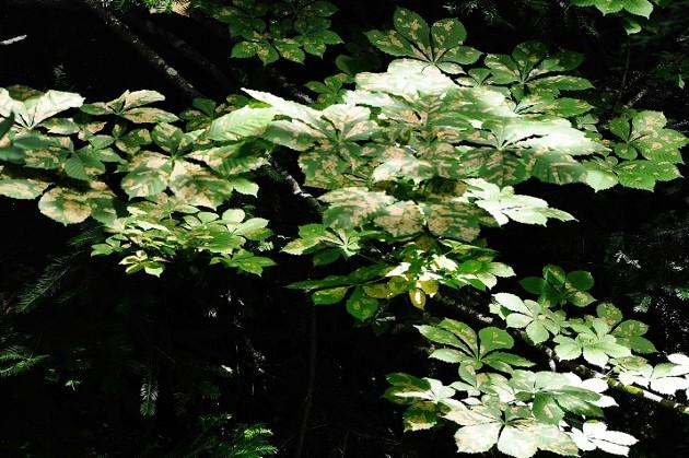 Aesculus hippocastanum - marronnier Juin_231