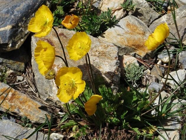 Ranunculus bulbosus - renoncule bulbeuse - Page 2 Juin_233