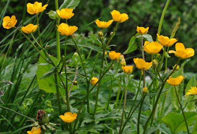 Ranunculus acris - renoncule âcre  Juin_234