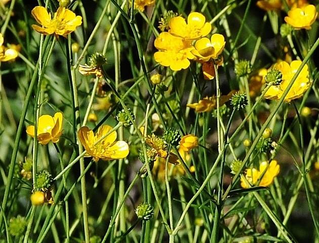 Ranunculus acris - renoncule âcre  Juin_235