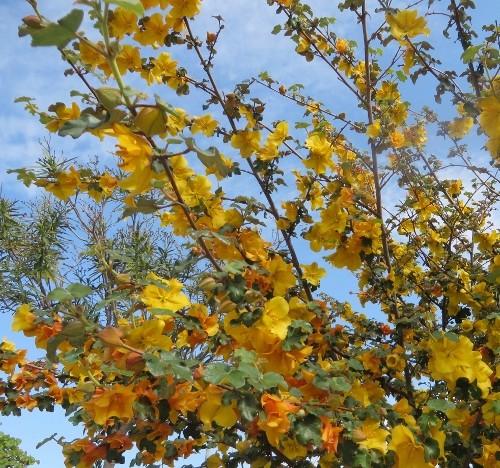 Fremontodendron californicum - Page 2 La_cio16