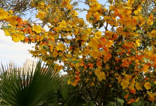 Fremontodendron californicum - Page 2 La_cio18