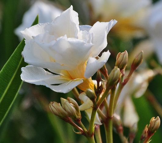 Nerium oleander - laurier rose - Page 3 Laurie10