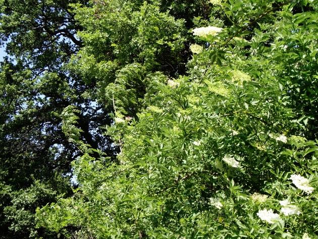 Sambucus nigra et cultivars - sureau noir - Page 3 Mai_2020