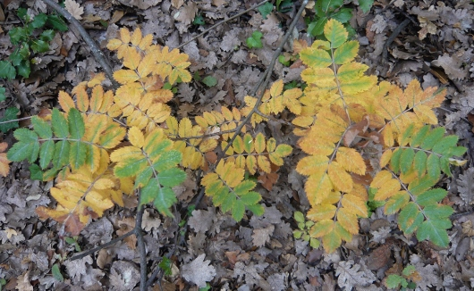 Sorbus domestica - cormier Novemb11