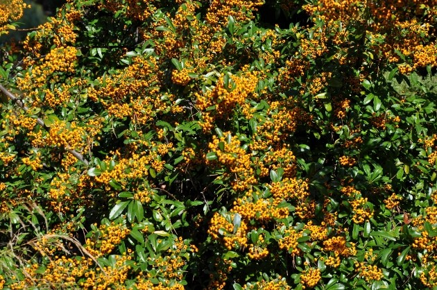 Pyracantha coccinea - buisson ardent Novemb13