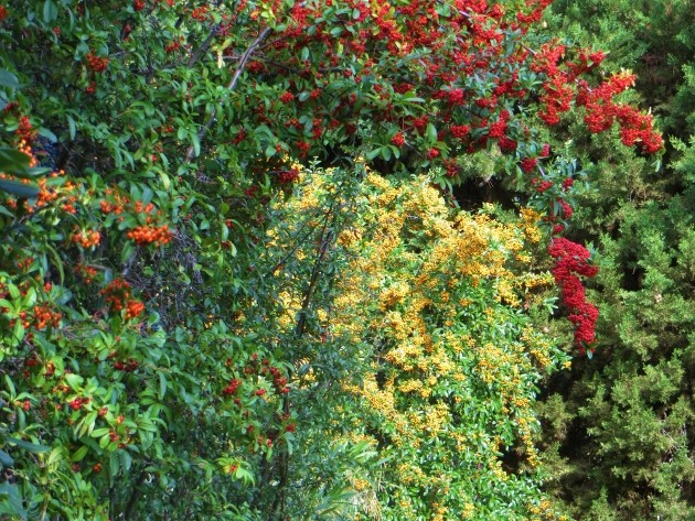 Pyracantha coccinea - buisson ardent Novemb14