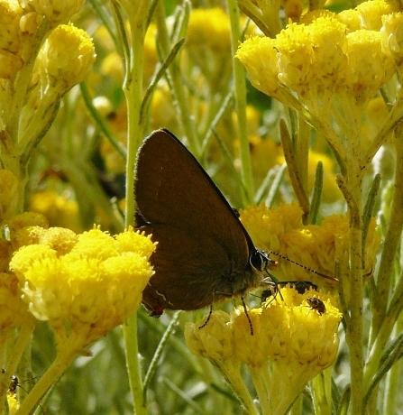 Helichrysum stoechas P1250210