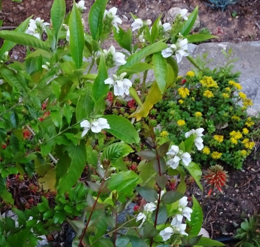 Justicia adhatoda (= Adhatoda vasica) - carmentine en arbre Parc_b10