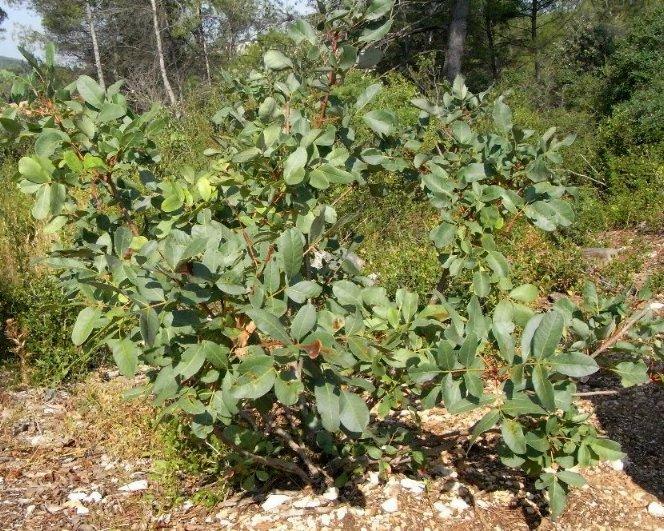 Pistacia terebinthus - pistachier térébinthe - Page 2 Pistac12