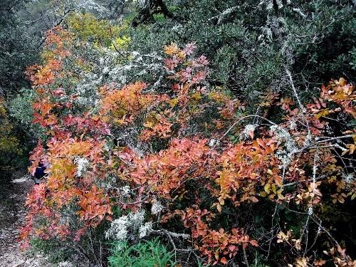 Pistacia terebinthus - pistachier térébinthe - Page 2 Pistac13