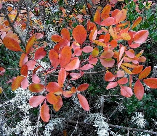 Pistacia terebinthus - pistachier térébinthe - Page 2 Pistac16