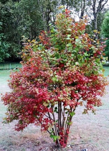 Viburnum opulus - viorne obier Septem12