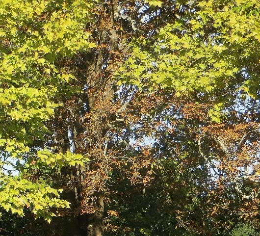 Aesculus hippocastanum - marronnier Septem14