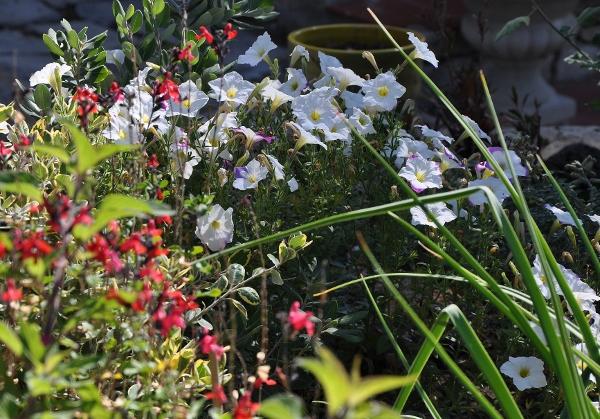 pétunia - Petunia - les pétunias (hybrides, cultivars...) Septem16