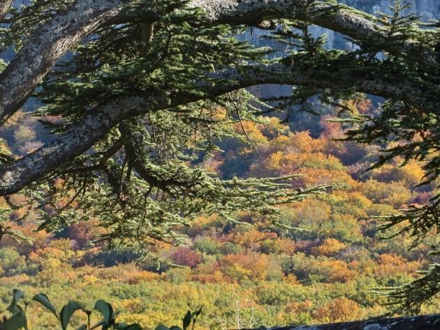 Acer monspessulanum - érable de Montpellier - Page 2 Ste_be10