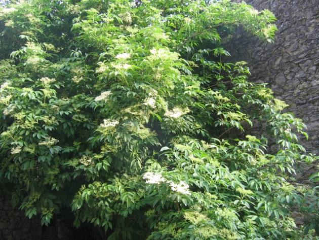 Sambucus nigra et cultivars - sureau noir - Page 3 Sureau10