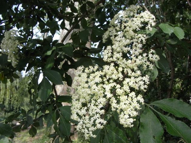 Sambucus nigra et cultivars - sureau noir - Page 3 Sureau11