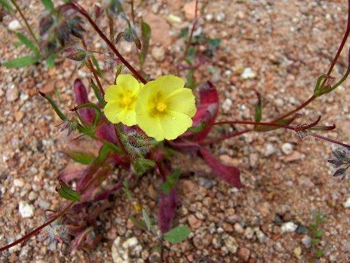 Tuberaria guttata - hélianthème à gouttes Tubera10