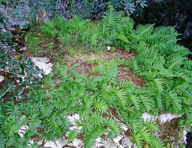Polypodium groupe vulgare - polypode commun Verger10