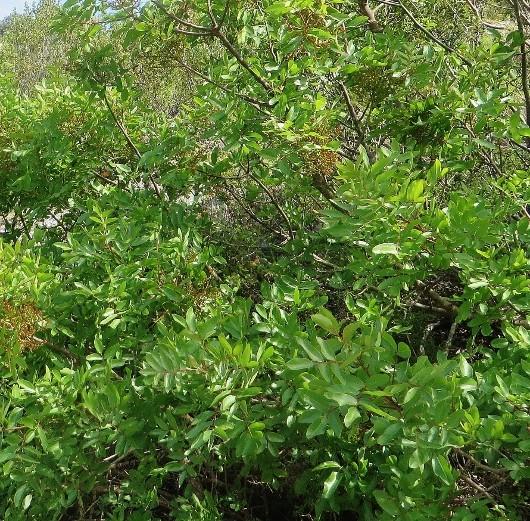 Pistacia terebinthus - pistachier térébinthe - Page 2 Week_e10