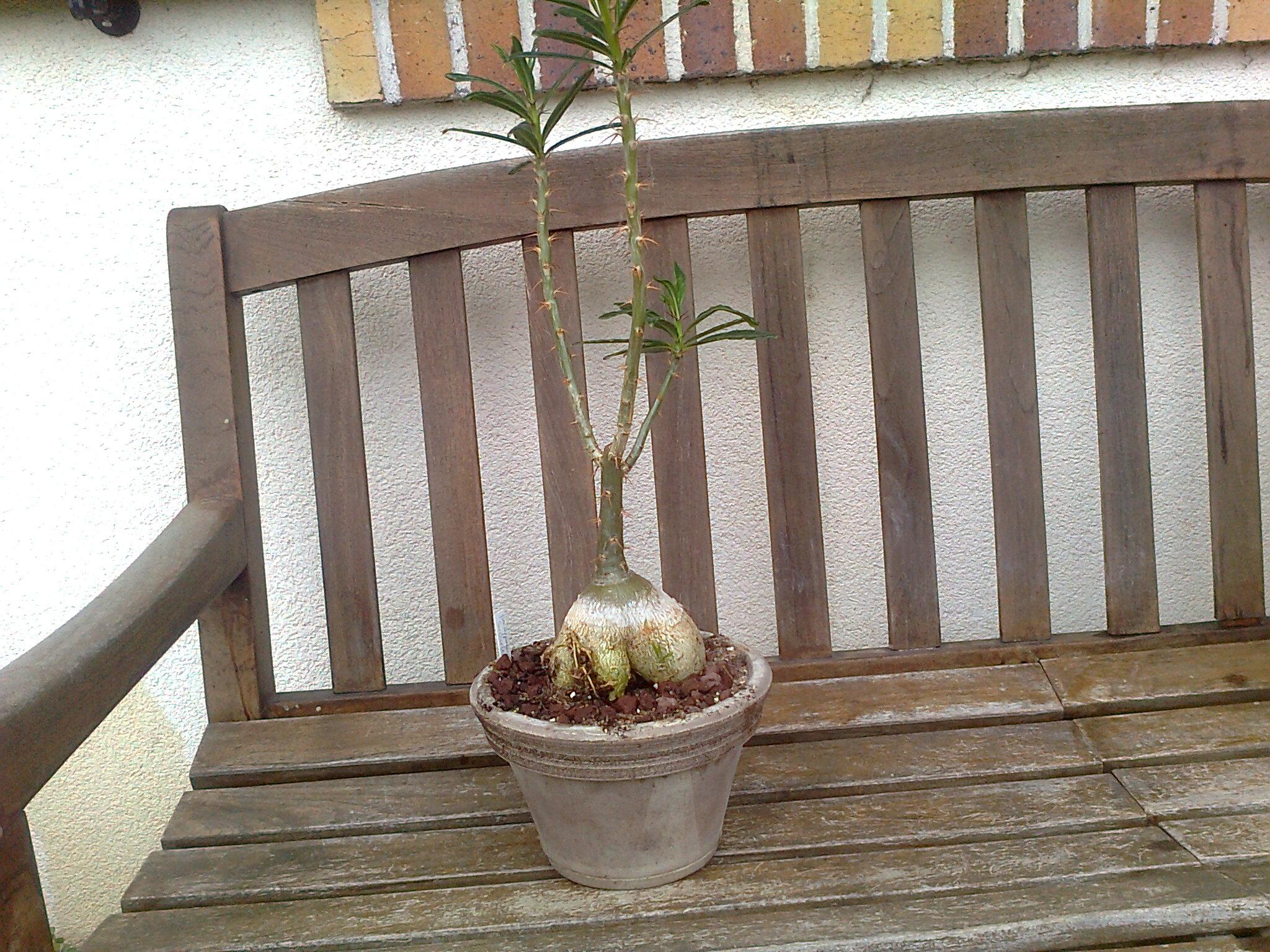 Pachypodium succulentum  - Page 10 Photo112