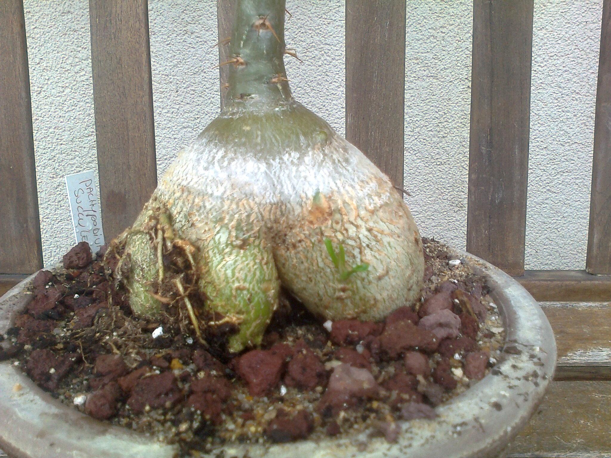 Pachypodium succulentum  - Page 10 Photo113