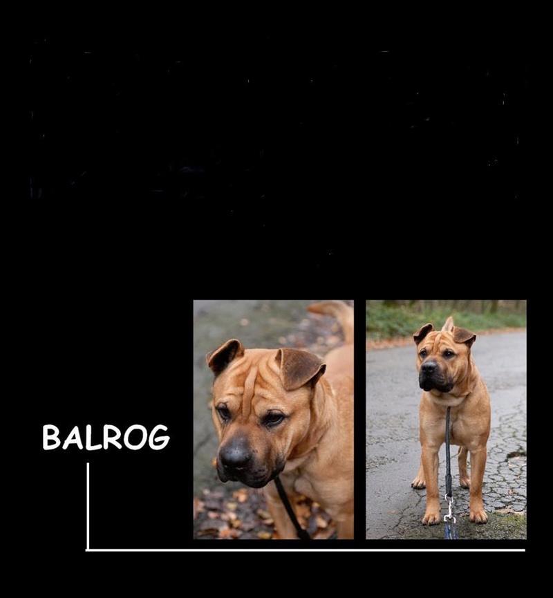 Balrog xsharpei 2 ans (02) SPA  Hirson  26904310