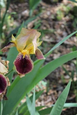 Iris variegata beige et violet - Flora et Lilou [identification en cours] 00_var10