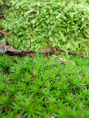 mousses et lichens [verrouillé] - Page 2 1-cuga10